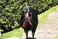 Vogelpark Walsrode - Casuarius casuarius 03 ies.jpg