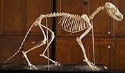 Vulpes vulpes skeleton.JPG