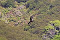 Vulture from Highway 1, California 3.jpg