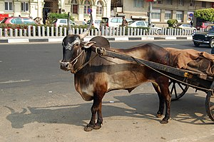 English: Oxen in Marine Drive, Mumbai, India.