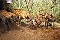 WLA hmns Spotted Hyena.jpg