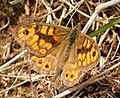 Wall Brown. Lasiommata megera (45862057614).jpg
