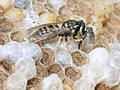 Wasp brood cells in disturbed nest, newly-emerged adult.jpg