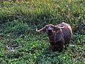Water Buffalo (Bubalus bubalis) (7789040420).jpg