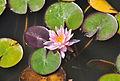 Waterlelie R02.jpg