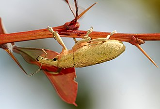 Lixus angustatus - Image: Weevil September 2008 1