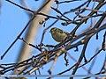 Western Crowned Warbler (Phylloscopus occipitalis) (32803265560).jpg