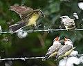 Western Kingbird (fledges and parents) (43618055981).jpg