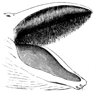 Baleen - Appearance of baleen hair in a whale's open mouth