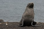 Whalers Bay Deception Island Antarctica Fur Seal 7 10 (47284691182).jpg