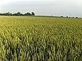 Wheat, East Tytherley - geograph.org.uk - 465120.jpg