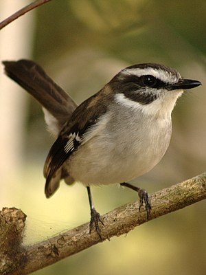 Poecilodryas - White-browed robin (Poecilodryas superciliosa)
