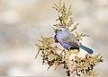 White-browed Tit Warbler (Leptopoecile sophiae) (26436534079).jpg
