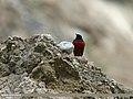 White-capped Redstart (Chaimarrornis leucocephalus) (20120489962).jpg