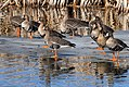 White-fronted Geese (7027859367).jpg