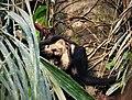 White-headed Capuchin (Cebus capucinus) (42326096614).jpg