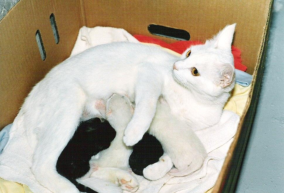 White Cat Nursing Four Kittens HQ