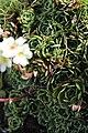 White Mountain Saxifrage - Saxifraga paniculata (20555039852).jpg