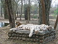 White Tigers at Bannerghatta National Park 4-24-2011 12-22-41 PM.JPG