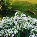 White flowers12.jpg