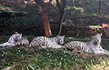 White tigers at IGZoo park 04.jpg