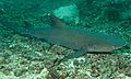Whitetip Reef Shark (Triaenodon obesus) (6089207506).jpg