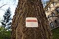 Wiener Naturdenkmal 692 (Währing) i.JPG