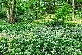 Wild Garlic (33892434878).jpg