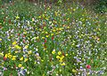 Wild flower meadow, Bradford University (28132753144).jpg