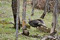 Wildes-truthuhn-wild-turkey-meleagris-gallopavo.jpg