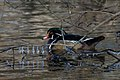 Wood duck in wood II duck pond thanksgiving (14287988721).jpg