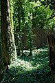 Wooded glade with ivy.jpg