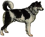 Yakutian laika (white background).jpg