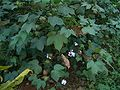 Yangxin-County-cotton-field-0049.jpg