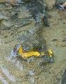 Yellow-bellied Toad - Geelbuikvuurpad - Bombina variegata 01.tif