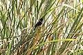 Yellow-winged Blackbird (Agelasticus thilius) male (4856332275).jpg