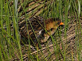 Yellow Rail.jpg