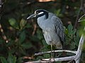 Yellow crowned night heron (31021241214).jpg
