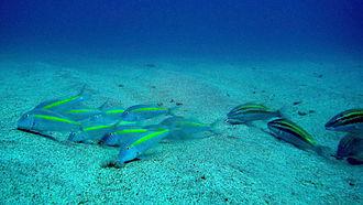 Goatfish - Image: Yellow striped goatfish ( Parupeneus chrysopleuron )