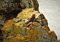 Young Hen Kestrel Falco tinnunculus (46546630182).jpg