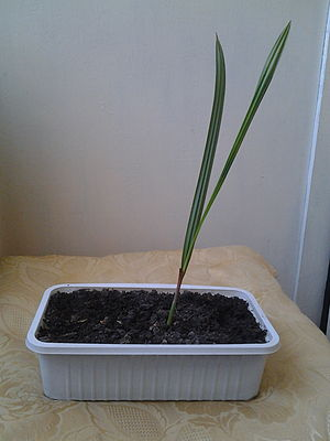 Date palm - Young date palm