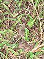 Ypthima ypthimoides Moore, 1881 – Palni Four-ring at Mannavan Shola, Anamudi Shola National Park, Kerala (29).jpg