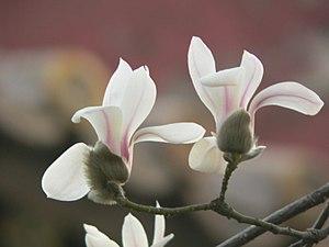 Magnolia denudata - Image: Yulan 1
