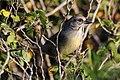 Zapata sparrow (Torreornis inexpectata varonai).JPG