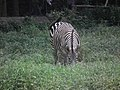 Zebra from Bannerghatta National Park 8702.JPG