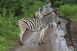 Zebra in Hluhluwe–Imfolozi Park 05.jpg