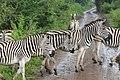 Zebras in Hluhluwe–Imfolozi Park.jpg