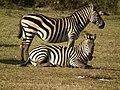 Zebras in Tanzania 3935 Nevit.jpg