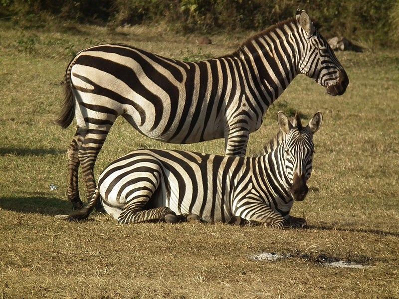 File:Zebras in Tanzania 3935 Nevit.jpg