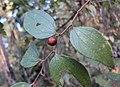 Ziziphus oenoplia 15.JPG